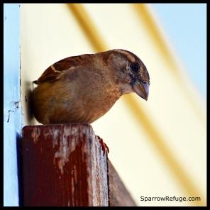 sparrow copy